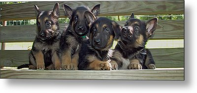 Shepherd Pups 2 Metal Print by Aimee L Maher Photography and Art Visit ALMGallerydotcom