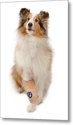 Shetland Sheepdog With Injured Leg Metal Print by Susan Schmitz