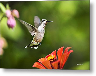 Shimmering Breeze Hummingbird Metal Print by Christina Rollo