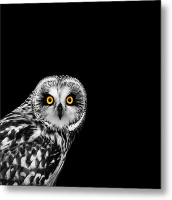 Short-eared Owl Metal Print by Mark Rogan