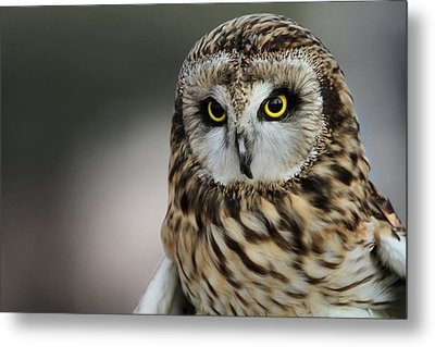 Short Eared Owl Portrait Metal Print by Dan Sproul