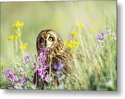 Short-eared Owl Metal Print by Thomas and Pat Leeson