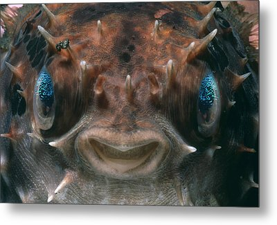Short-spined Porcupine Fish Metal Print by Jeff Rotman