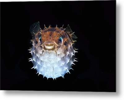Short-spined Porcupinefish Metal Print by Jeff Rotman