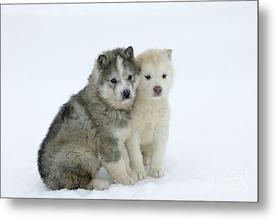 Siberian Husky Puppies Metal Print by M. Watson