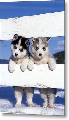 Siberian Husky Puppies Metal Print by Rolf Kopfle