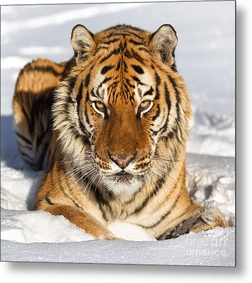 Siberian Tiger Face To Face Metal Print by Jerry Fornarotto