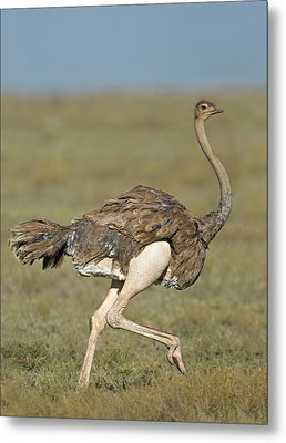 Side Profile Of An Ostrich Running Metal Print by Panoramic Images