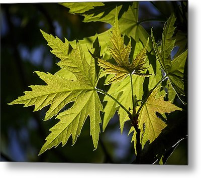 Silver Maple Metal Print by Ernie Echols