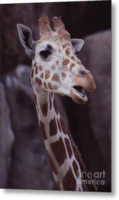 Singing Giraffe Metal Print by Anna Lisa Yoder