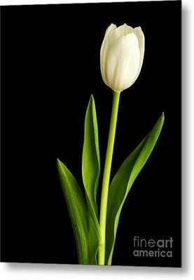 Single White Tulip Over Black Metal Print by Edward Fielding