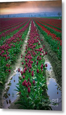 Skagit Valley Tulips Metal Print by Inge Johnsson