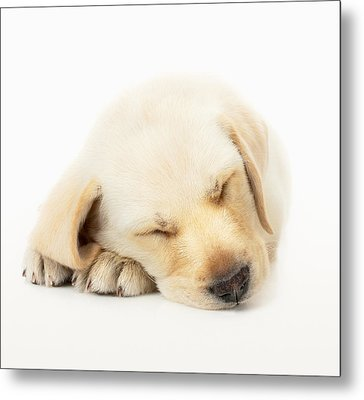 Sleeping Labrador Puppy Metal Print by Johan Swanepoel