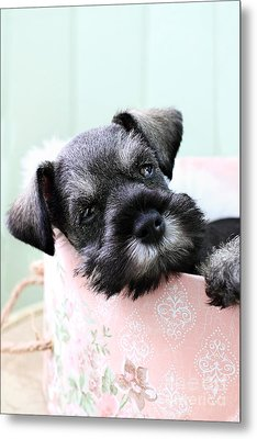 Sleepy Mini Schnauzer Metal Print by Stephanie Frey