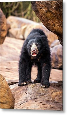 Sloth Bear Metal Print by Paul Williams