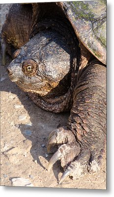 Snapping Turtle Metal Print by Thomas Pettengill