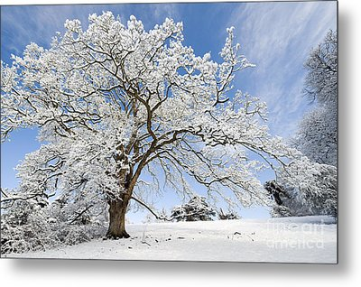 Snow Covered Winter Oak Tree Metal Print by Tim Gainey