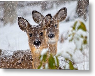 Snow Does Metal Print by Betsy Knapp