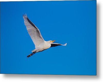 Snow Egret In Flight Metal Print by Andres Leon