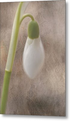 Snowdrop Bud Metal Print by Faith Simbeck