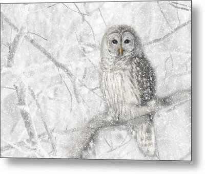Snowy Barred Owl Metal Print by Lori Deiter