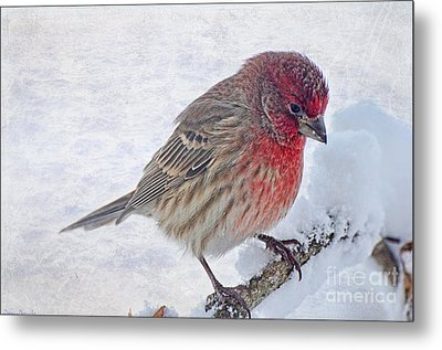 Snowy Day Housefinch Metal Print by Debbie Portwood