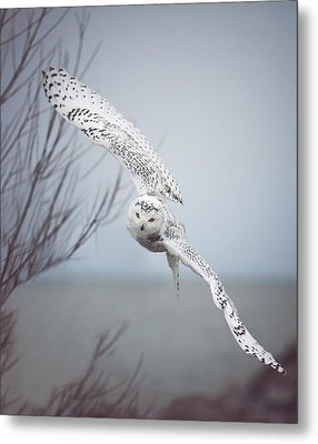 Snowy Owl In Flight Metal Print by Carrie Ann Grippo-Pike