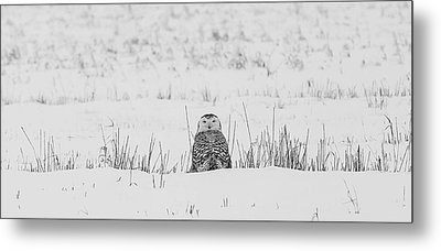 Snowy Owl In Snowy Field Metal Print by Carrie Ann Grippo-Pike