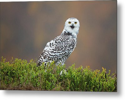 Snowy Owl Metal Print by Milan Zygmunt