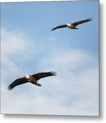 Soaring Bald Eagles Square Metal Print by Bill Wakeley