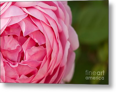Softly I Unfold Metal Print by Catherine Fenner