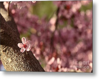Solo In The Blossom Chorus Metal Print by Jennifer Apffel