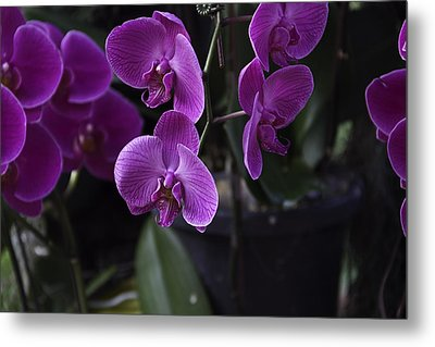 Some Very Beautiful Purple Colored Orchid Flowers Inside The Jurong Bird Park Metal Print by Ashish Agarwal
