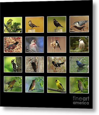 Song Birds Of Canada Collection Metal Print by Inspired Nature Photography Fine Art Photography