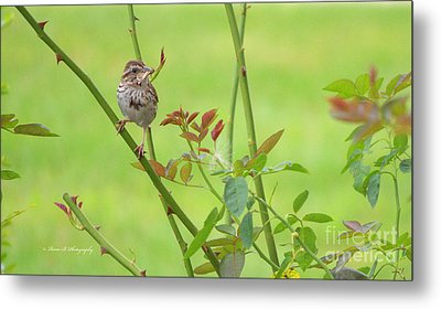 Song Sparrow Metal Print by Rima Biswas
