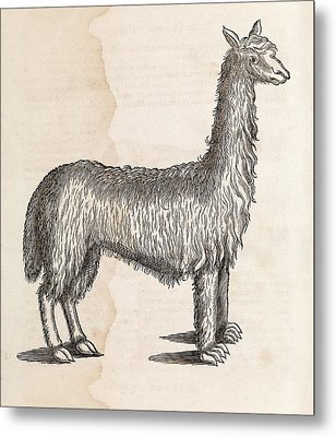 South American Camelid Metal Print by Middle Temple Library