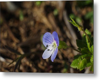 Speedwell Metal Print by Billy  Griffis Jr