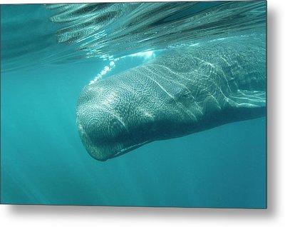 Sperm Whale Metal Print by Christopher Swann
