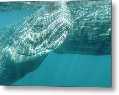 Sperm Whales Metal Print by Christopher Swann