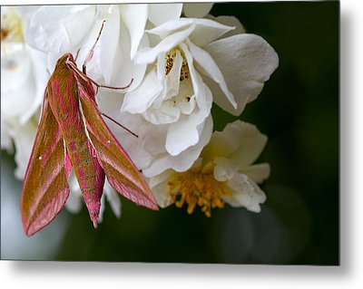 Sphinx Moth On A Rose Metal Print by Mr Bennett Kent