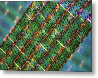 Spirogyra Algae, Light Micrograph Metal Print by Science Photo Library