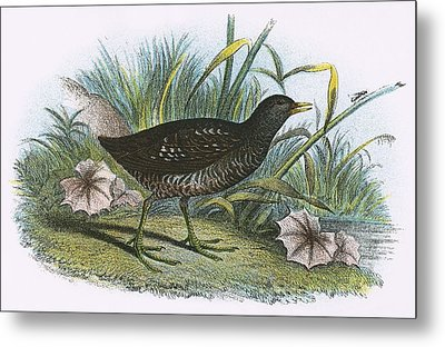 Spotted Crake Metal Print by English School