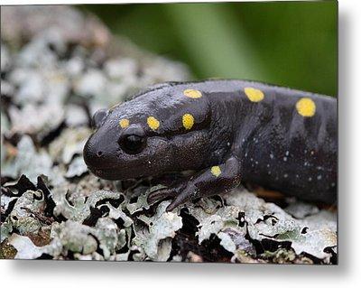 Spotted Salamander Metal Print by Bruce J Robinson