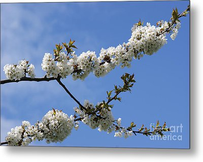 Spring Blossoms 6 Metal Print by Carol Lynch
