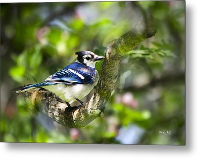 Spring Blue Jay Metal Print by Christina Rollo