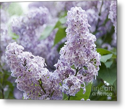 Spring Lilacs In Bloom Metal Print by Juli Scalzi