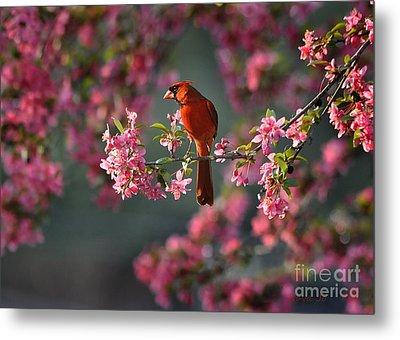 Spring Morning Cardinal Metal Print by Nava Thompson