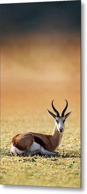 Springbok Resting On Green Desert Grass Metal Print by Johan Swanepoel