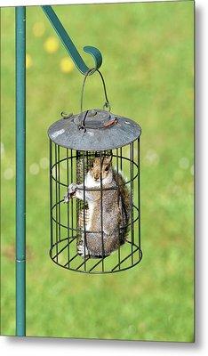 Squirrel In Bird Feeder Metal Print by Dr P. Marazzi