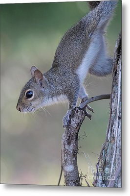 Squirrel Pose Metal Print by Deborah Benoit